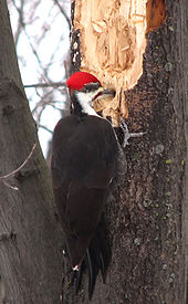 Pileated Woodpecker photo by D. Gordon E. Robertson