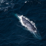 Ariel View of Blue Whale in the Indian Ocean
